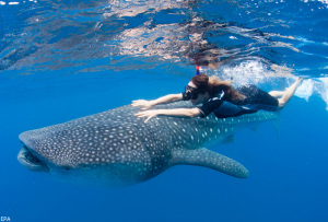 Actress, Maggie Q swims with an endangered whale shark